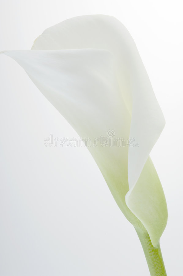 Free Calla Lily Over White Stock Images - 3974194