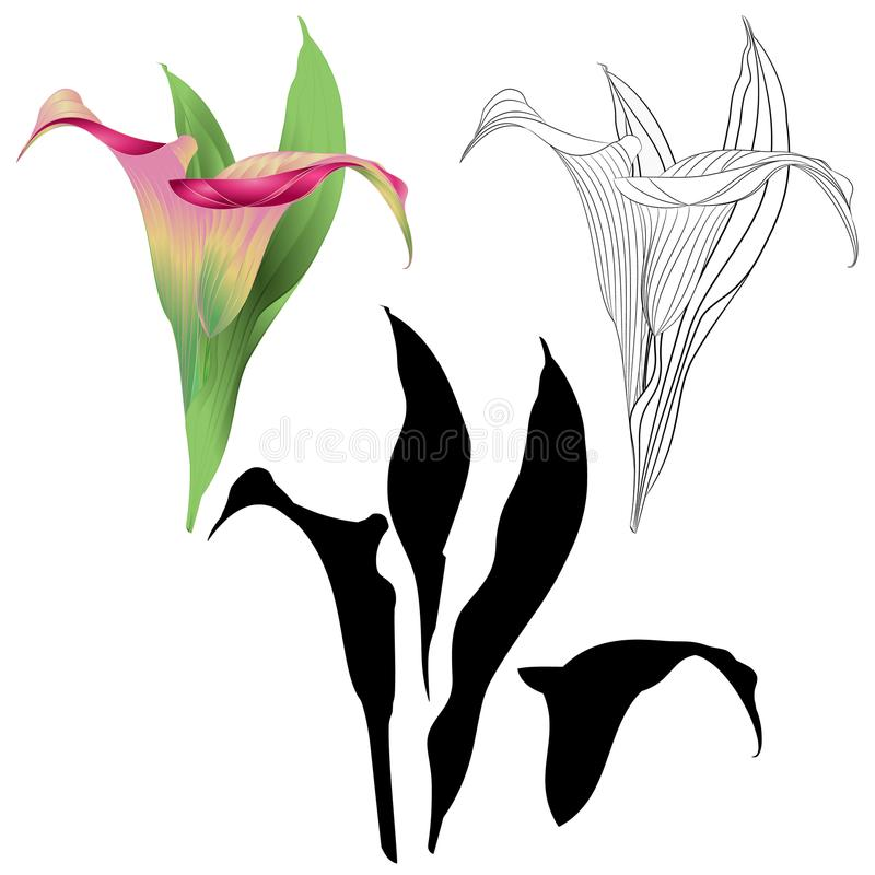 Calla lily pink flowers and leaves herbaceous perennial ornamental plants natural and outline and silhouette on a white backgro vector illustration