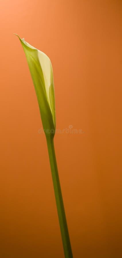 Calla lily or Zantedeschia royalty free stock photography