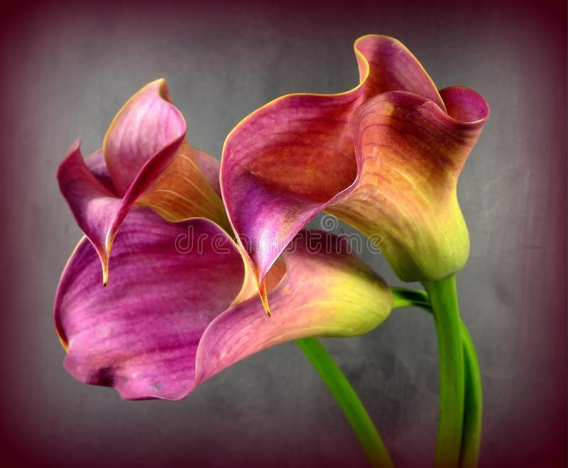 Calla. Pink callas in bouquet with texture stock photos