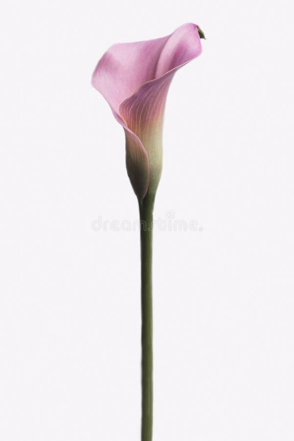 Calla rose lilly d'isolement sur le fond blanc photo libre de droits