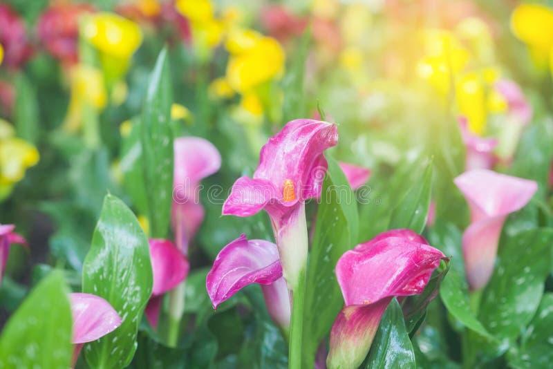 Callaliljan blommar i ljuset arkivfoton