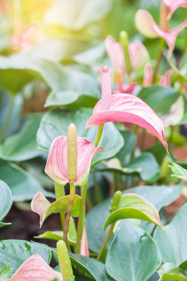 Callaliljan blommar i ljuset fotografering för bildbyråer