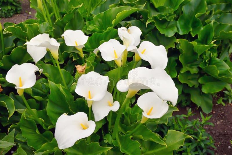 Callaliljan blommar i trädgård royaltyfri fotografi