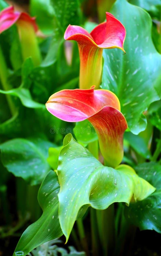 Download Callaliljor fotografering för bildbyråer. Bild av liljar - 37349787