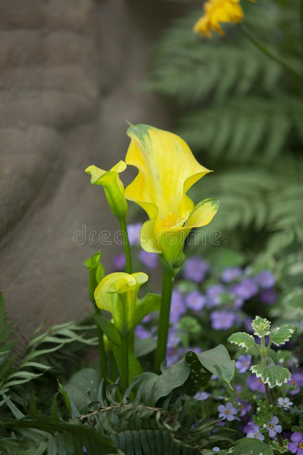 Callalily spring in the garden royalty free stock photography