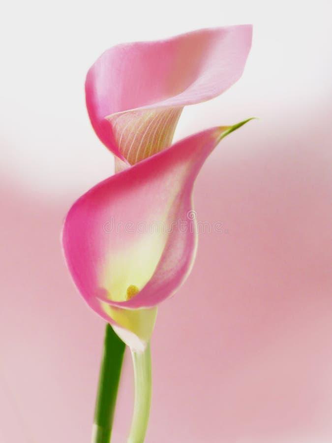 callas ροζ στοκ εικόνες
