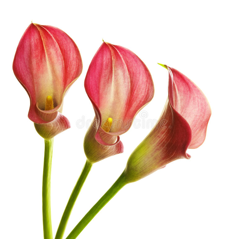 Callas. Pink callas isolated on white royalty free stock images
