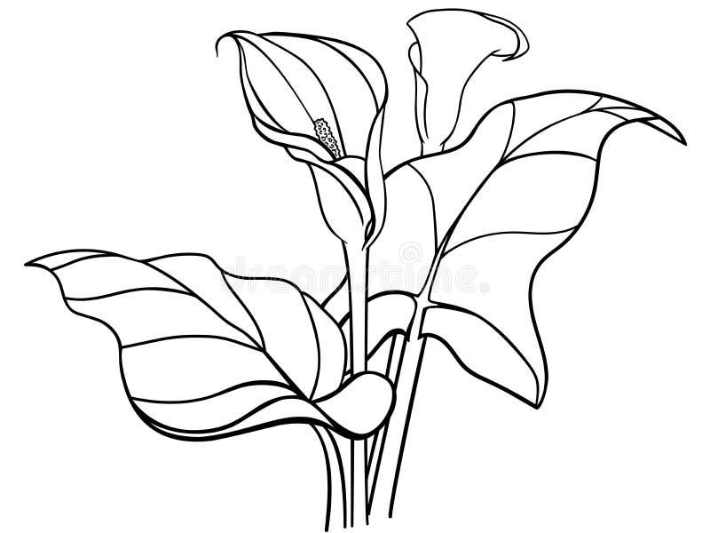 Callas blommar med sidor bukett vita callas liljar Linje teckning för att färga stock illustrationer