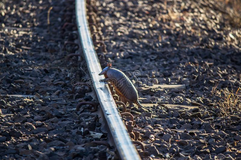 Armadillo walking on the line. Called armadillo-chicken. This type of armadillo has almost completely naked carapace, quite convex and laterally compressed, with stock photos