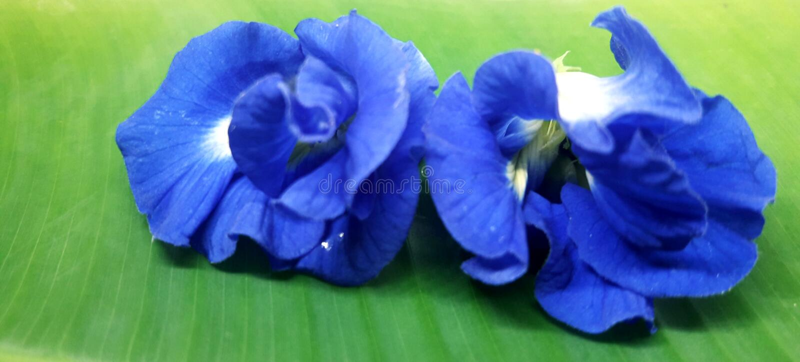 This is called Neel kantha flower, blue flower  aparajita flower  Asian pigeon wings flower. royalty free stock photo