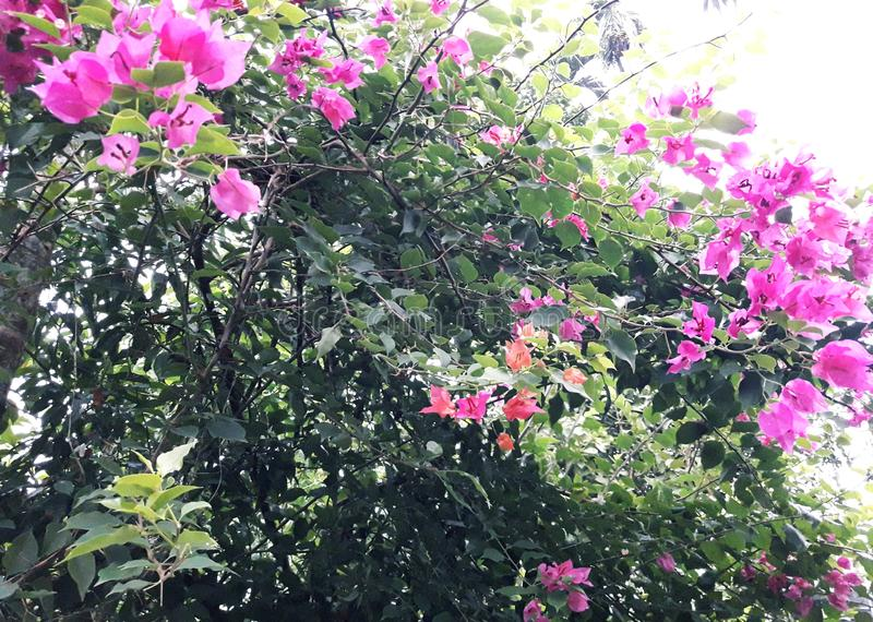 This is called paper flower plant, kagajflower plant. Flowerplant, pinkflowertree, pinkpaperflowertree, kagajphooltree, paperphooltree, phoolplant, bloom royalty free stock image