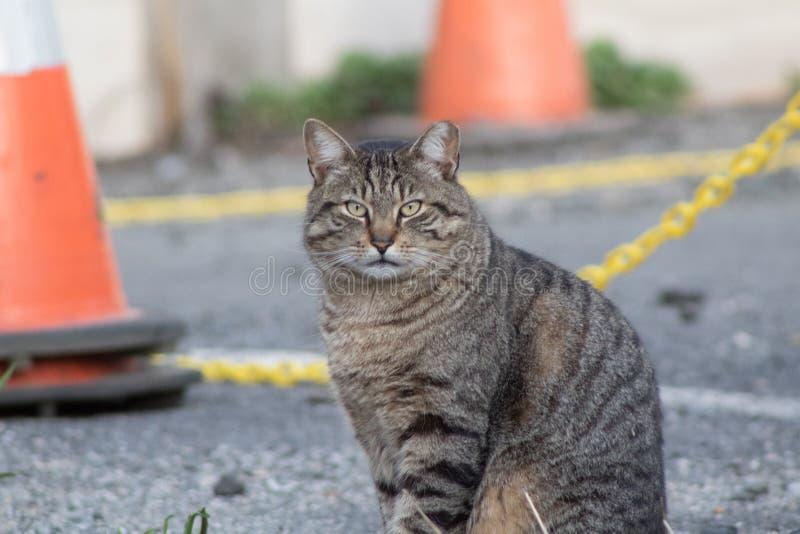 Callejón Cat Stares At Camera Man fotografía de archivo