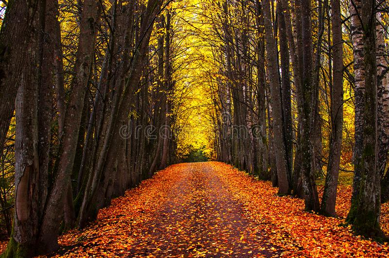 Callejón del parque del otoño Árboles brillantes del otoño y hojas de otoño anaranjadas foto de archivo libre de regalías