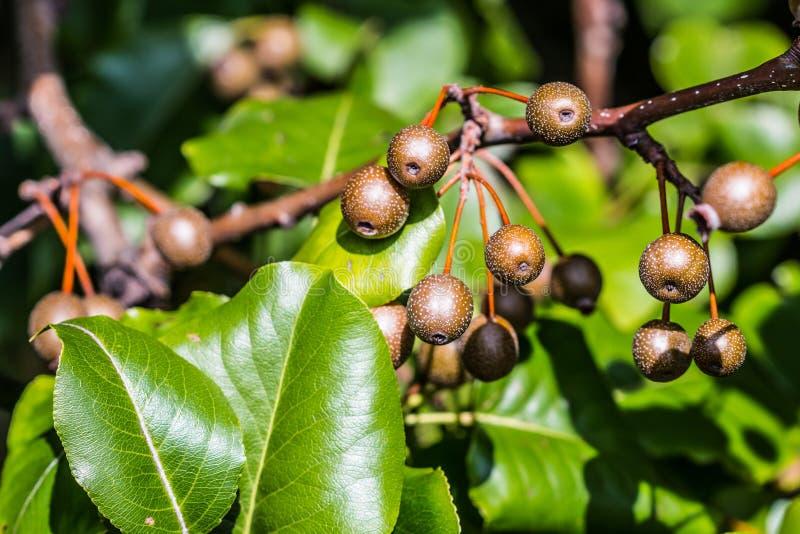 Callery/Bradford Pear Budding Fruit photographie stock libre de droits