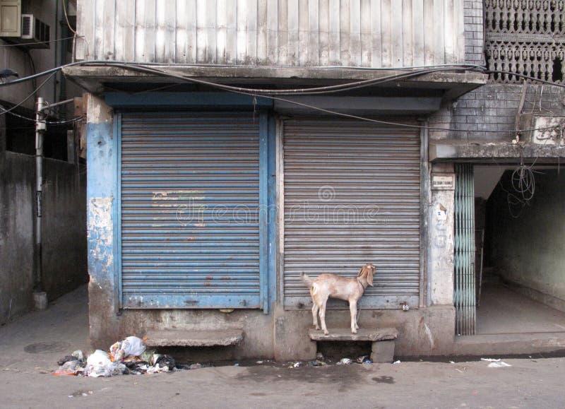 Calles de Kolkata Cabra nacional encadenada a la pared en la puerta principal de la tienda fotos de archivo libres de regalías