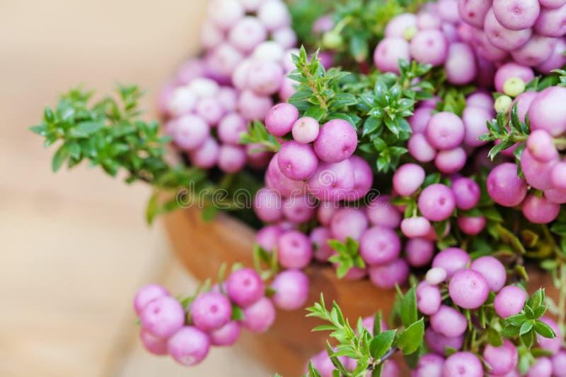 Callicarpa Bodinieri jagod purpurowa roślina Selekcyjna ostrość zdjęcia stock