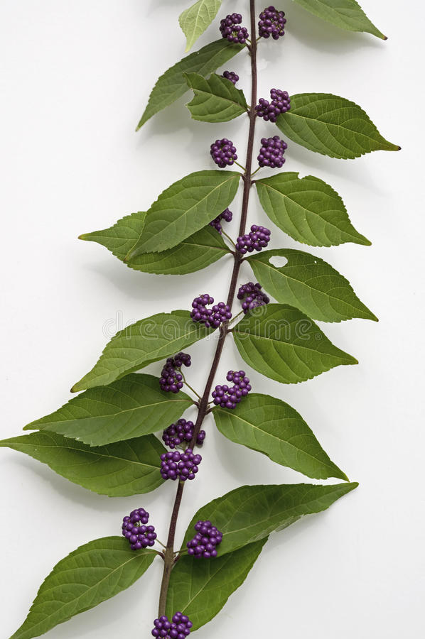 Callicarpa. Dichotoma is species of beautyberry. The flowers are pink to white. The berries which are small drupes are purple. The fruits grow closely together royalty free stock photos