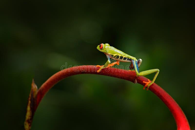 Callidryas Agalychnis, Красно-наблюданная древесная лягушка, животное с большими красными глазами, в среду обитания природы, Пана стоковое изображение