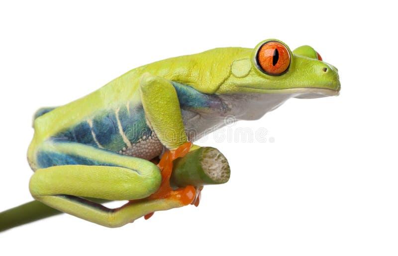 callidryas agalychnis eyed вал красного цвета лягушки стоковое фото