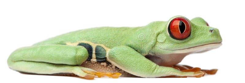 callidryas agalychnis eyed красное treefrog стоковая фотография