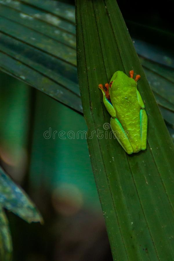 Callidryas aux yeux rouges d'Agalychnis de grenouille d'arbre dans une forêt près de La Fortuna, Costa Ri photo libre de droits