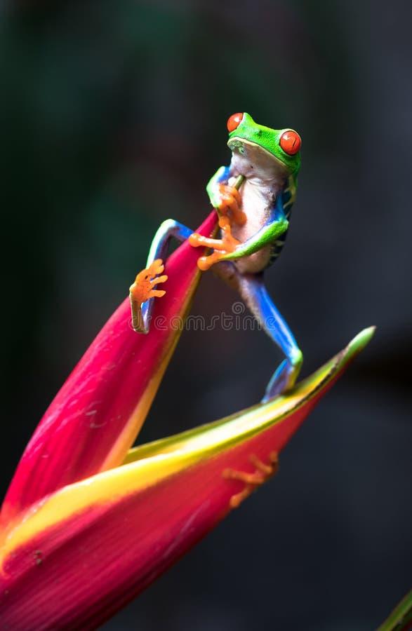 Callidryas aux yeux rouges d'Agalychnis de grenouille d'arbre image libre de droits