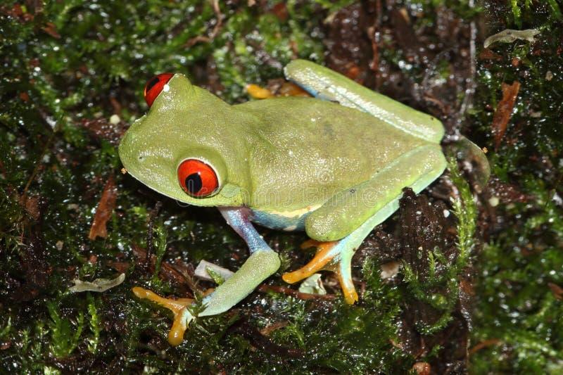 Callidryas aux yeux rouges d'Agalychnis de grenouille d'arbre photographie stock libre de droits