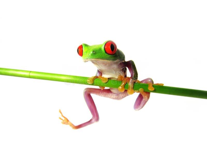 Callidryas con gli occhi rossi di Agalychnis della rana di albero 133) ( fotografie stock