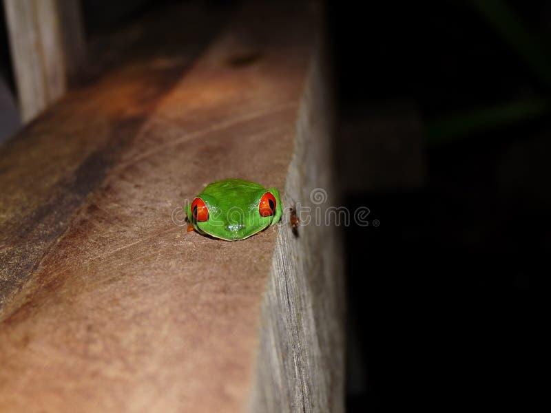 Callidryas con gli occhi rossi ritratto, Costa Rica di Agalychnis della rana di albero fotografie stock libere da diritti