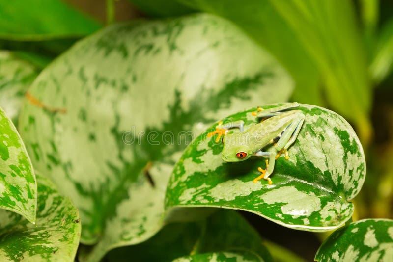 Callidryas d'Agalychnis de grenouille observés par rouge photographie stock libre de droits