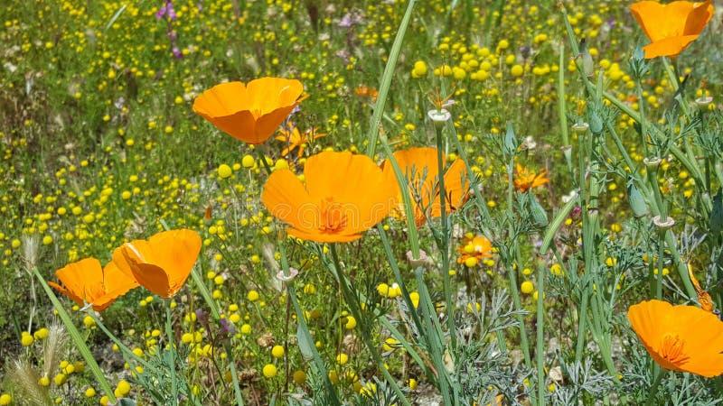Callifornia stanu kwiat - maczek z Wildflowers obraz stock