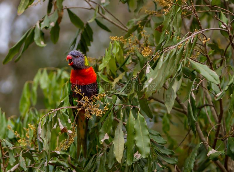 Calling to my friends. Rainbow lorikeet in the leaves of the Illawarra Flame Tree - Brachychiton Acerifolius - with gum trees in the background royalty free stock images
