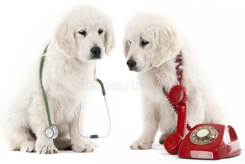 Calling the vet royalty free stock photo