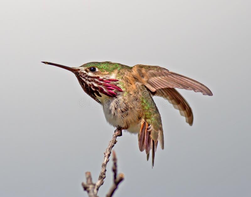 Calliope Hummingbird stock foto's