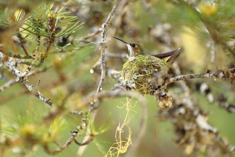 Calliope Hummingbird royalty-vrije stock afbeeldingen