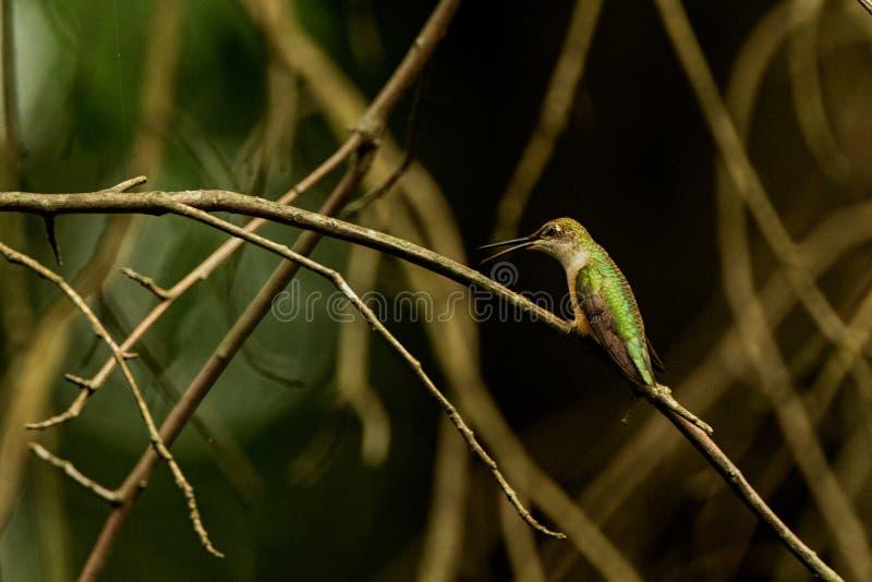 Calliope Hummingbird royalty-vrije stock foto