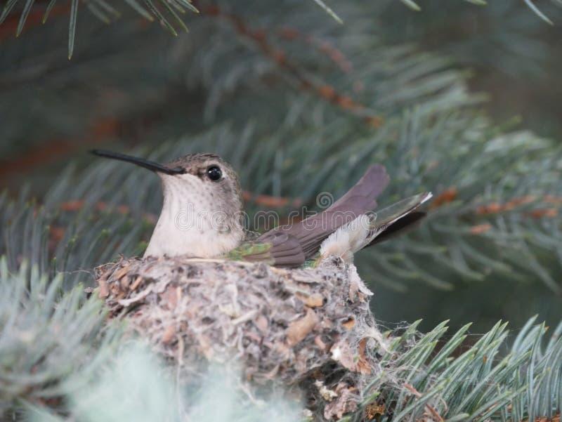 Calliope Hummingbird in nest royalty-vrije stock afbeelding