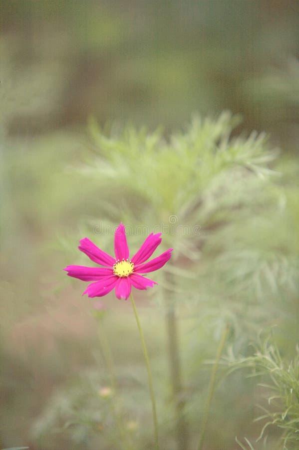 Calliopsis fotografia stock libera da diritti