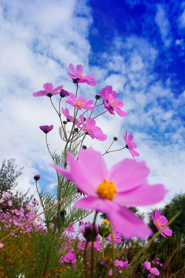 Calliopsis imagem de stock royalty free