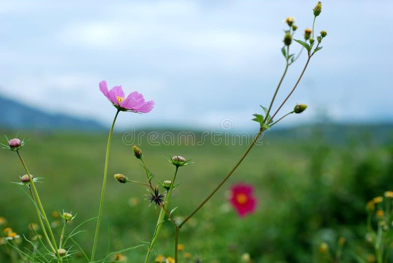 Calliopsis photos stock