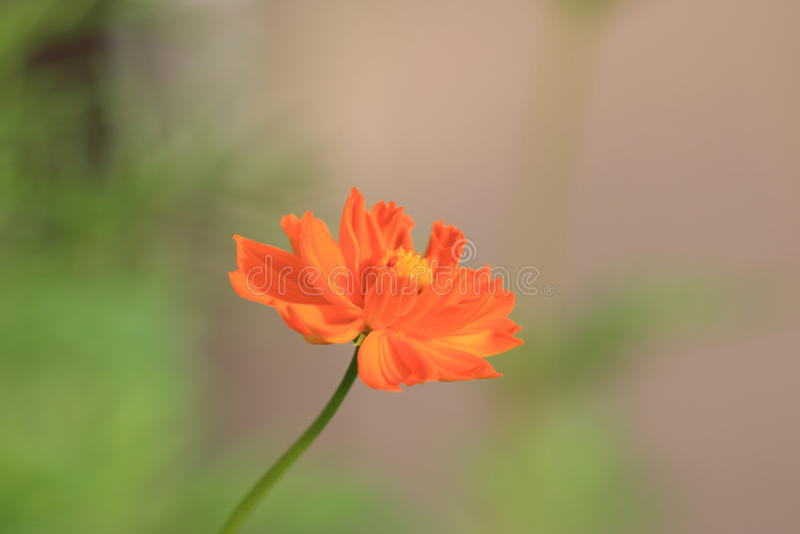 Calliopsis zdjęcia royalty free