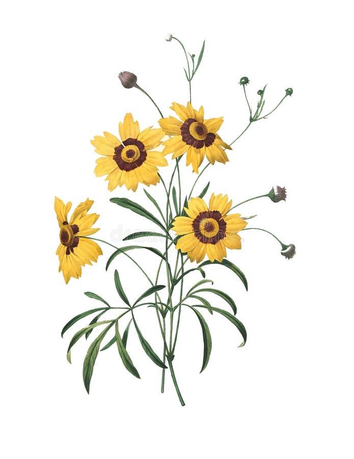 Calliopsis | Illustrazioni del fiore di Redoute illustrazione di stock