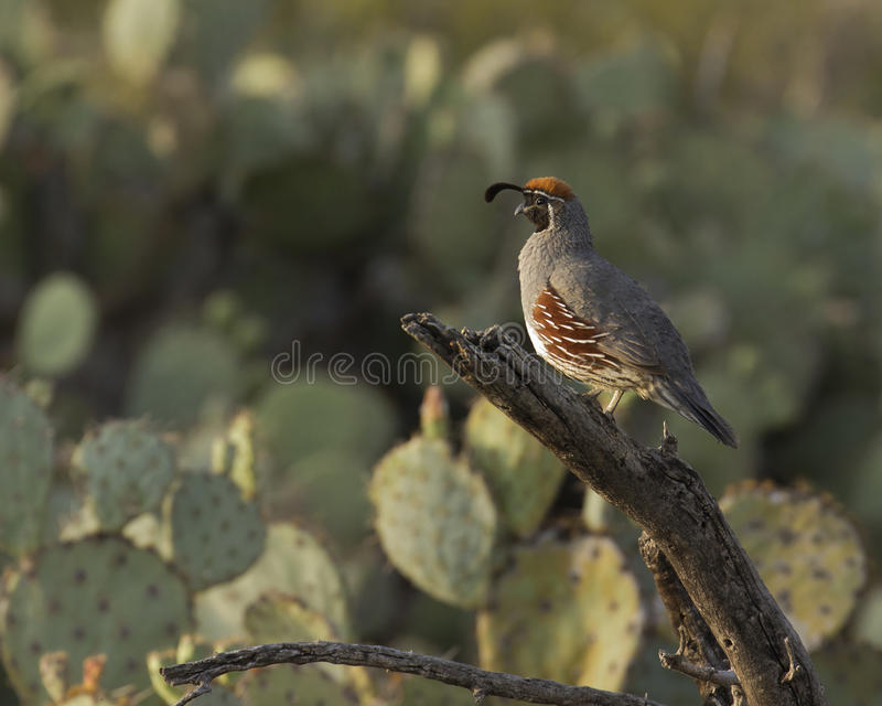 Callipepla gambelii. A male Gambell's Quail greeting the dawn from his secure perch atop a deadwood limb surrounded by prickly pear cactus in the Sonoran Desert stock photo