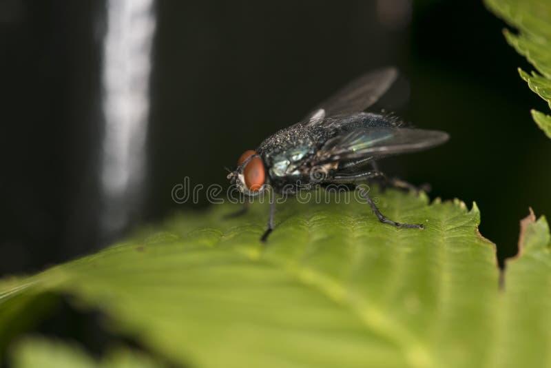 Calliphora vicina, wielka komarnica na liściu zdjęcia stock