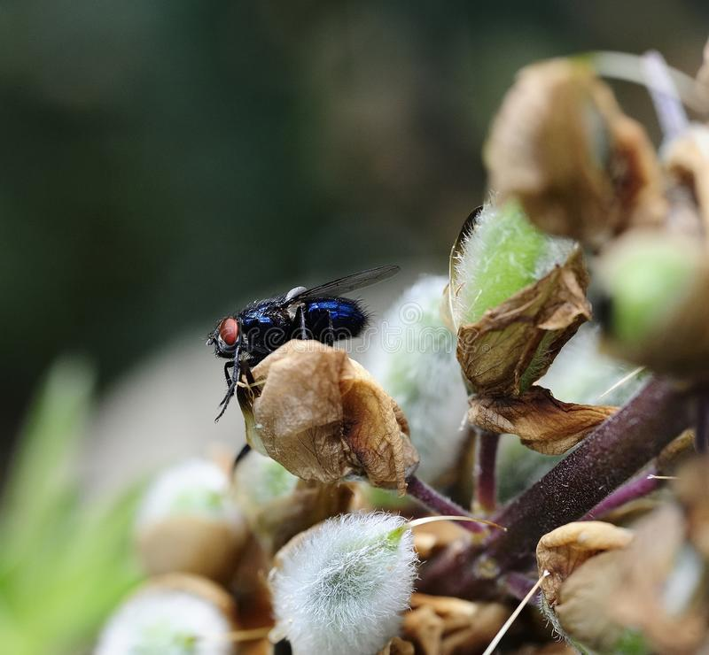Calliphora vomitoria - modrak komarnica obrazy royalty free