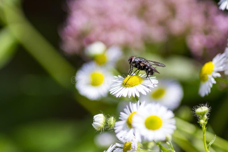 Calliphora vomitoria w pięknym kwiacie obraz stock
