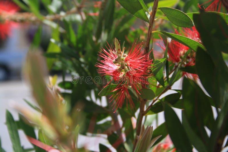 Callistemon or bottle brush flower. Close-up of red needle-like flower on the green shrub in yearly spring. Callistemon or bottle brush flower. An Australian royalty free stock images