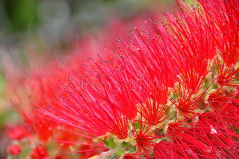 Callistemon - blooming red bottlebrush flower background stock images