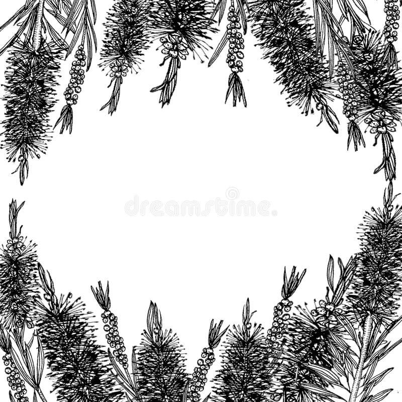 Callistemon griffonnage carte illustration stock